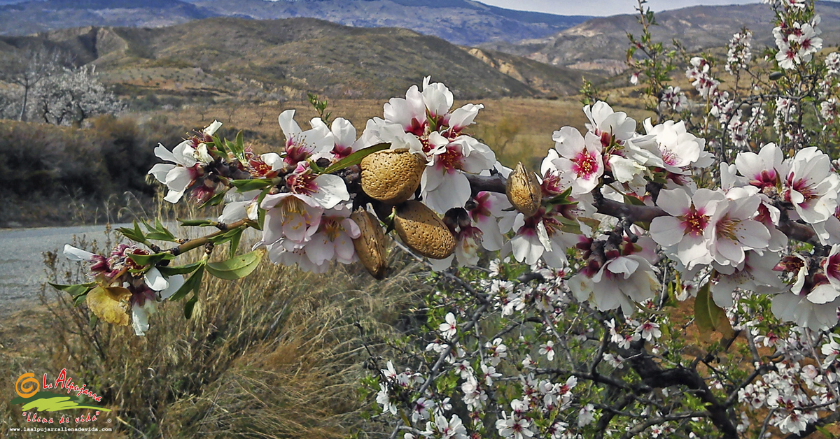http://www.laalpujarrallenadevida.com/wp-content/uploads/2018/02/Floracion_de_los_almendros_en_La_Alpujarra_Almer%C3%ADa_Granada.jpg